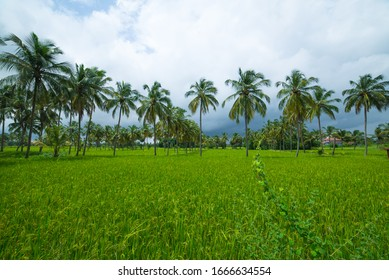 Thasrak Rice Paddy and Coconut trees and palmyra palm