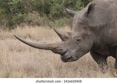 Rhino Horn Images, Stock Photos & Vectors | Shutterstock