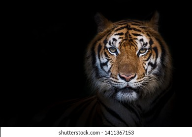That tiger look straight at me, it so scary. (Panthera tigris corbetti) in the natural habitat, wild dangerous animal in the natural habitat, in Thailand.