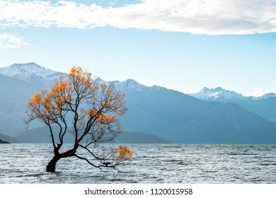 """that Wanaka tree"" isolated in Lake Wanaka at sunset in Autumn season."