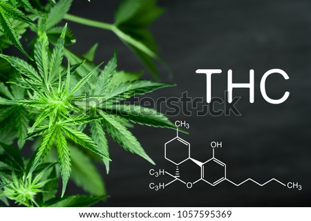 THC Beautiful background green cannabis flowers copy space