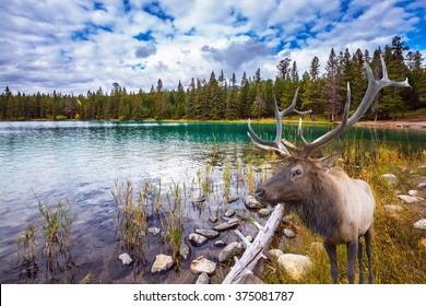 "Thel ""Golden Autumn"" in the Rocky Mountains of Canada. Wonderful antlered deer on the shore of cold lake"