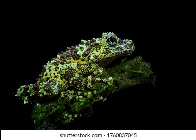 Theloderma corticale on leaves, mossy tree frog on leaves with black background