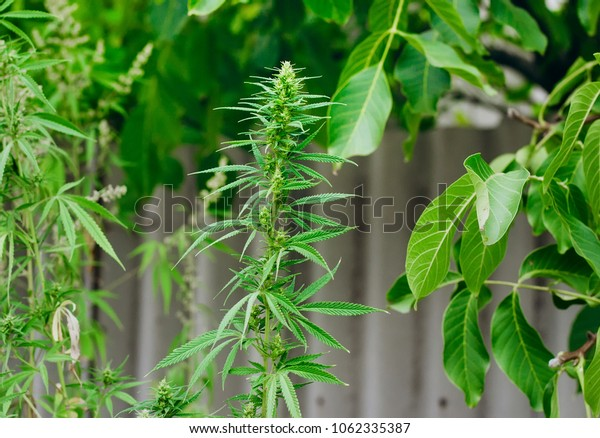 Thematic photos of hemp and marijuana. Green ganja, cannabis, background image