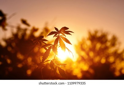 Thematic photos of hemp, plant of marijuana in sunlight against sky on sunset sun. Cannabis on blurred background. Selective focus