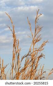 Themeda trianda grass stalks silhouetted against the sky