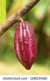 Theobroma cacao, also called the cacao tree and the cocoa tree,native to the deep tropical regions of the Americas. Its seeds, cocoa beans, are used to make cocoa mass, cocoa powder, confectionery.