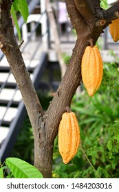 Theobroma cacao, also called the cacao tree and the cocoa tree, is a small (4–8 m (13–26 ft) tall) evergreen tree in the family Malvaceae,[1][2] native to the deep tropical regions of the Americas.