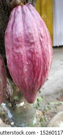 Theobroma cacao L. is a buni which has very soft flesh. Young cocoa has a light green, dark green, and red color when still young. If the cacao fruit is ripe, then the seeds inside will be peeled off