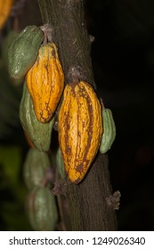 theobroma cocao tree with pods developing for chocolate production