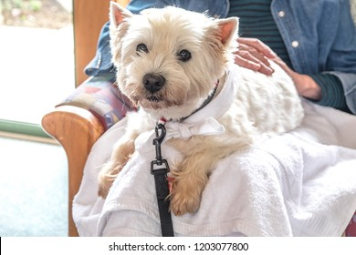Therapy pet dog visiting retirement care home - westie is on lap of elderly senior person with hands patting dog