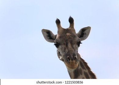 There are 3 types of giraffes in Kenya.Masai,reticulated and nubian giraffes distribute across the country.They can be distinguished by their patterns and home ranges.Nubian giraffe is endangered.