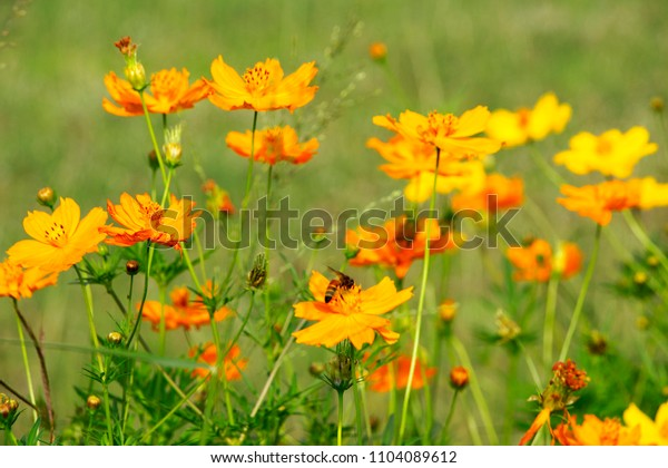 There are beautiful yellow cosmos flowers in the grass field the evening.