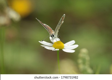 There is a butterfly sitting on a white flower. The butterfly is called 'Aricia agestis' or 'Brown Argus'