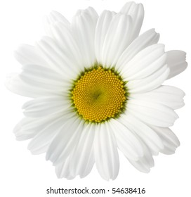 There is camomile with beautiful white leaves and yellow center