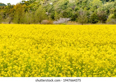 There is canola flower as far as the eye can see.
