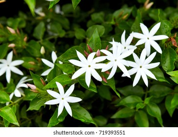 There is a droplet of white jasmine flowers in the morning light garden, white flowers.