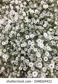 There are Gypsophilia flowers.