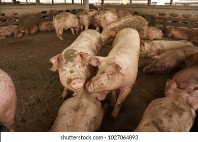 There have many pigs in the picture. some are sleeping. Some are lay down mud pond. But there has two pigs which are outstanding in the middle of the picture and looking to us through the camera.