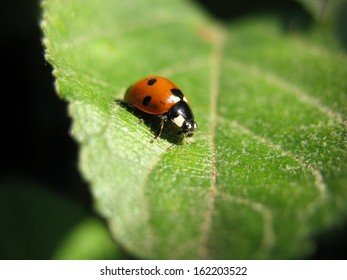 There are insect and plant. The ladybird  on green leaf.