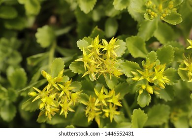 There are many different kinds of Sedum flowers here a yellow specie