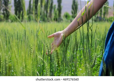 There is nice image for nature. Happy woman in the young green wheat.