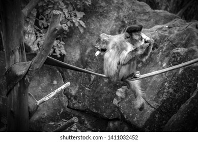 There is not much research on Robust Capuchin Monkeys because it has been said that it is difficult to ascertain the variation in the two capuchins.