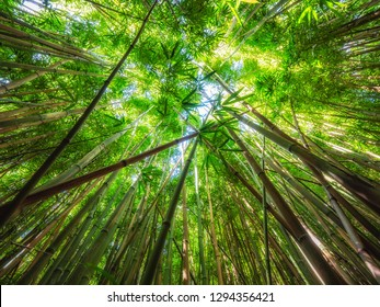 There is a really cool bamboo forest along the Pipiwai trail on the way to the Waimoku Falls on Maui, Hawaii. Looking up at the bamboo like this gives an idea of its size.