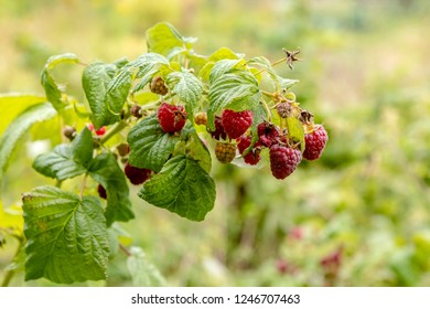 There was a rich harvest of raspberries
