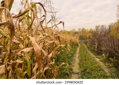 there is a road along a corn field, dry corn stalks, the end of the season