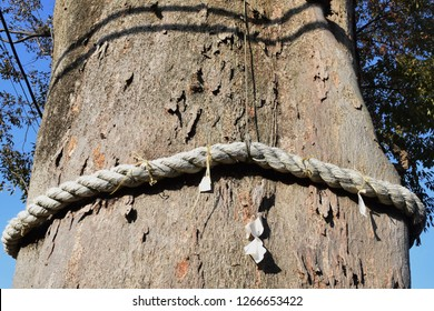 "There is a sacred tree called ""Goshinboku"" in the Japanese shrine, and the tree is stretched around the Sacred rice straw rope called ""Shimenawa""."