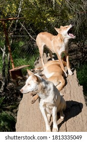 there are two golden dingos and one white dingo.
