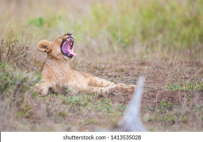 There is a very intense connection between the female lions and their offspring in Africa.