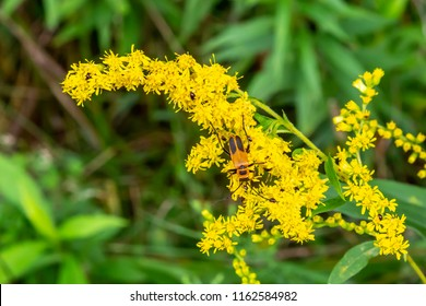 There were all kinds of these bugs on the Goldenrod