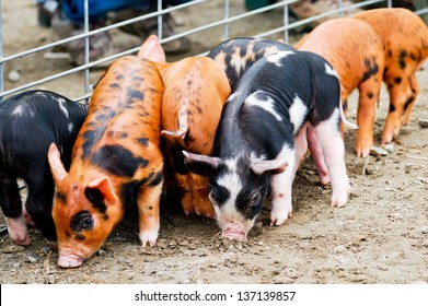 These 10-day old piglets are rooting in the dirt near a metal fence.  The piglets are a cross between Tamworth and Berkshire, both heritage breeds.
