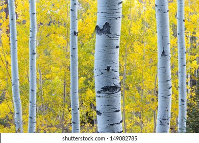 These Aspen Trees in Vail Colorado are lit with blue early morning skylight while behind them the golden yellow color of Fall Aspen Leaves contrasts their color