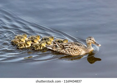 These beautiful ducklings are literally glued together behind their mother.