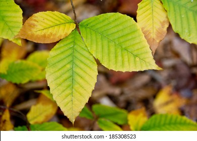 These beech (Fagus grandifolia) leaves have just begun turning from green to yellow in the fall.