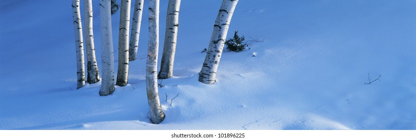 These are birch trees that appear to be growing out of the snow. This shows New England in the winter.