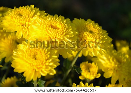These blooming yellow flowers called chrysanthemum stock photo edit these are blooming yellow flowers called chrysanthemum or florists mun or mums flowers and a mightylinksfo