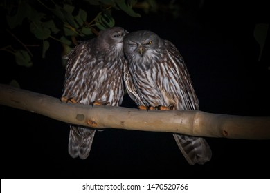 These are a Breeding Pair of Barking Owls, they are watching over the nest taking in turns to catch a quick snooze and groom each other, there young should be hatching soon