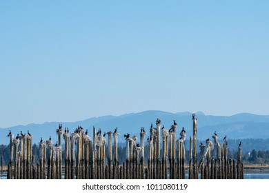 These cormorants can always be found nesting and roosting on these pilings in Steamboat Slough, Everett, WA