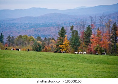 These dairy cows enjoy some of Vermont's finest mountain views.