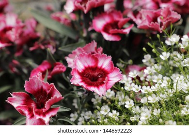 These Dianthus are annual flowers
