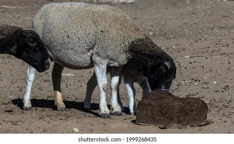 These Dorpers are fed in a camp next to the farmhouse in the dry Karoo on a sheep farm. The farmer gave them mallasa feeding blocks with lots of minerals in it.