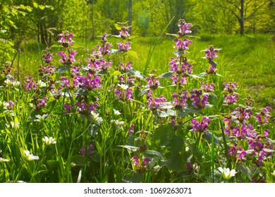 These flowers form a beautiful background in the glades and forest edges.