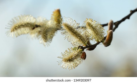 These are the flowers of the sallow tree in the Marshes called Alday in Cantabria, Spain.
