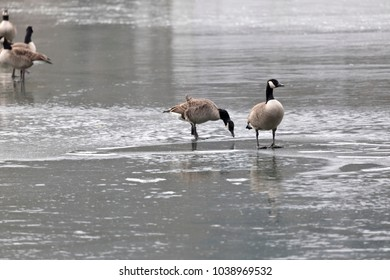 these geese do not find any food on the frozen lake
