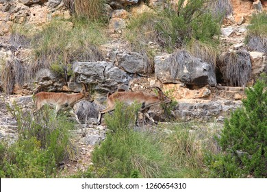 These Ibex live along the gorge between Cofrentes and Cortes de Pallas in Valencia, Spain. The Spanish Ibex (C. pyrenaica) are sturdy, sure-footed wild goats well suited to this terrain. 10/26/2018
