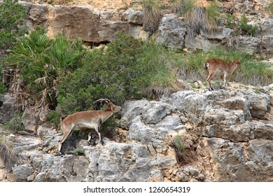 These Ibex live along the gorge between Cofrentes and Cortes de Pallas in Valencia, Spain. The Spanish Ibex (C. pyrenaica) are sturdy, sure-footed wild goats well suited to this terrain. 10/26/2018.